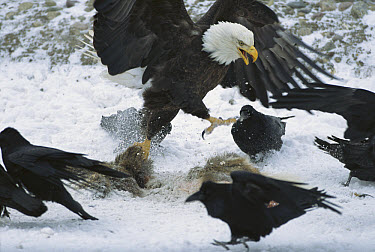Bald Eagle (Haliaeetus leucocephalus) chasing Common Raven (Corvus corax) group from carcass it was feeding on, Rocky Mountains, North America  -  Sumio Harada