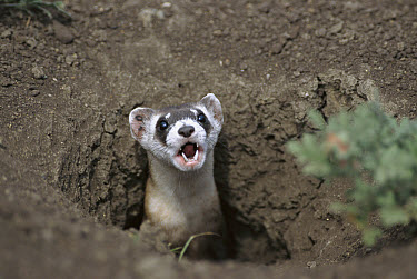 Black-footed Ferret (Mustela nigripes) calling from burrow in ground, recently released from captive breeding program, Fort Belknap Indian Reservation, Montana  -  Sumio Harada