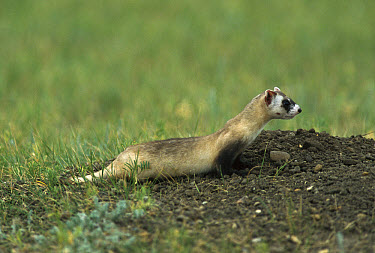 Black-footed Ferret (Mustela nigripes) at burrow entrance, recently released from captive breeding program onto the Fort Belknap Indian Reservation, Montana  -  Sumio Harada