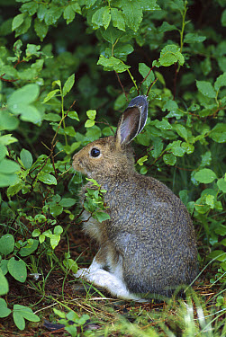 Snowshoe Hare (Lepus americanus) in brown summer phase sitting in underbrush, Glacier National Park, Rocky Mountains, Montana  -  Sumio Harada