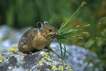 American Pika (Ochotona princeps) on rock with vegetation for nest building, Grand Teton National Park, Wyoming  -  Sumio Harada