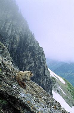 Hoary Marmot (Marmota caligata) on rocky precipice, Rocky Mountains, North America  -  Sumio Harada