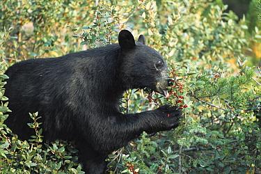 Black Bear (Ursus americanus) eating berries, Rocky Mountains, North America  -  Sumio Harada
