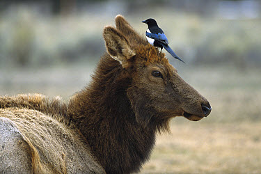 Elk (Cervus elaphus) cow with Black-billed Magpie (Pica pica) on her head, Yellowstone National Park, Wyoming  -  Sumio Harada