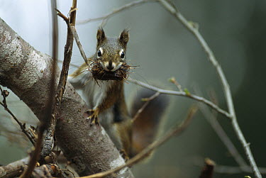 Red Squirrel (Tamiasciurus hudsonicus) climbing tree with nesting material in mouth, Rocky Mountains, North America  -  Sumio Harada
