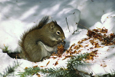 Red Squirrel (Tamiasciurus hudsonicus) separating seeds from an Engelmann Spruce (Picea engelmannii) cone to store for winter food, Rocky Mountains, Alberta, Canada  -  Sumio Harada