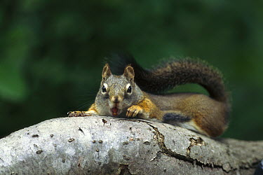 Red Squirrel (Tamiasciurus hudsonicus) laying on tree branch, Rocky Mountains, North America  -  Sumio Harada