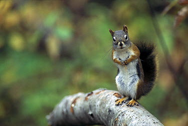 Red Squirrel (Tamiasciurus hudsonicus) standing on branch, Rocky Mountains, North America  -  Sumio Harada