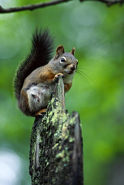 Red Squirrel (Tamiasciurus hudsonicus) sitting on end of dead tree, Rocky Mountains, North America  -  Sumio Harada