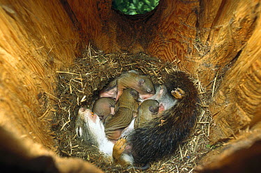 Red Squirrel (Tamiasciurus hudsonicus) mother nursing her 22 day old babies in nest, West Glacier, Montana  -  Sumio Harada
