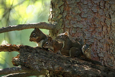 Red Squirrel (Tamiasciurus hudsonicus) curious 55 day old babies begin to explore the world outside of their nest, Rocky Mountains, North America  -  Sumio Harada