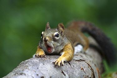 Red Squirrel (Tamiasciurus hudsonicus) climbing tree, Rocky Mountains, North America  -  Sumio Harada