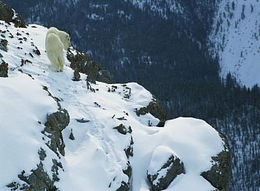 Mountain Goat (Oreamnos americanus) walking on rocky precipice in snow in winter, Rocky Mountains, North America  -  Sumio Harada