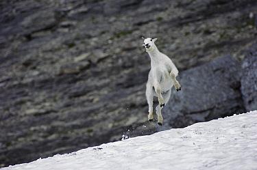 Mountain Goat (Oreamnos americanus) leaping in snow, Rocky Mountains, Glacier National Park, Montana  -  Sumio Harada