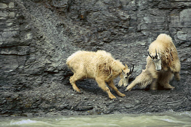 Mountain Goat (Oreamnos americanus) pair fighting for salt rights, male at left threatens female at right who lowers her rump in defense, Walton Goat Lick, Glacier National Park, Montana  -  Sumio Harada