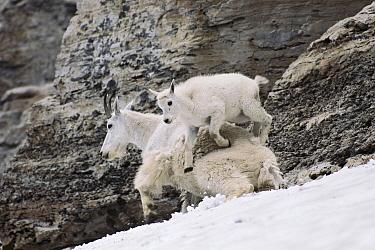 Mountain Goat (Oreamnos americanus) kid leaping over mother, Glacier National Park, Montana  -  Sumio Harada