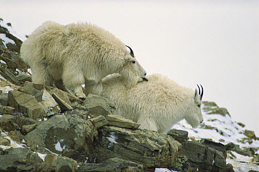 Mountain Goat (Oreamnos americanus) male cautiously licks female to signal interest in mating, Rocky Mountains, North America  -  Sumio Harada