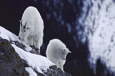 Mountain Goat (Oreamnos americanus) adult and baby on snow-covered rocky precipice, Rocky Mountains, North America  -  Sumio Harada