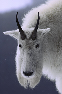 Mountain Goat (Oreamnos americanus) portrait, Rocky Mountains, North America  -  Sumio Harada