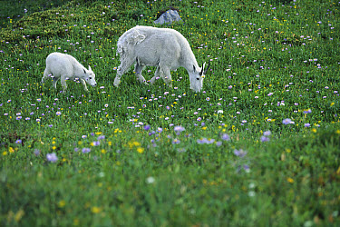 Mountain Goat (Oreamnos americanus) mother and baby grazing in meadow with wildflowers, Rocky Mountains, North America  -  Sumio Harada