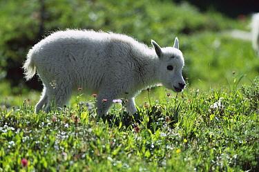 Mountain Goat (Oreamnos americanus) baby grazing in meadow, Rocky Mountains, North America  -  Sumio Harada