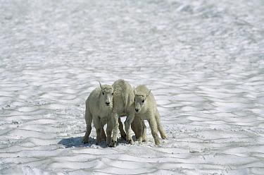 Mountain Goat (Oreamnos americanus) babies playing in snow, Rocky Mountains, North America  -  Sumio Harada