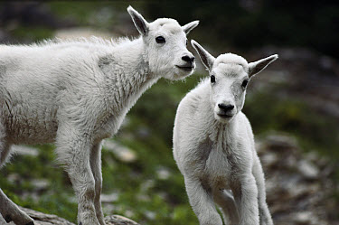 Mountain Goat (Oreamnos americanus) babies, Rocky Mountains, North America  -  Sumio Harada