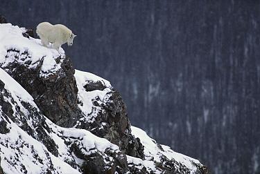 Mountain Goat (Oreamnos americanus) on snow-covered rocky precipice, Rocky Mountains, North America  -  Sumio Harada