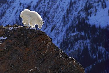 Mountain Goat (Oreamnos americanus) standing on rocky precipice, Rocky Mountains, North America  -  Sumio Harada