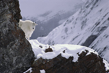 Mountain Goat (Oreamnos americanus) standing on snow covered rocky precipice, Rocky Mountains, North America  -  Sumio Harada