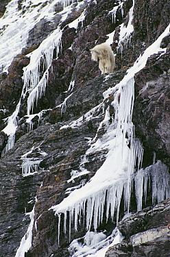 Mountain Goat (Oreamnos americanus) on steep icy cliff, Glacier National Park, Montana  -  Sumio Harada