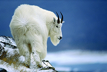 Mountain Goat (Oreamnos americanus) standing in wind, Glacier National Park, Montana  -  Sumio Harada