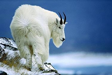 Mountain Goat (Oreamnos americanus) standing in wind, Glacier National Park, Montana  -  Sumio Harada