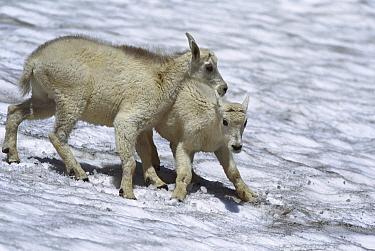 Mountain Goat (Oreamnos americanus) kids playing in snow, Rocky Mountains, North America  -  Sumio Harada