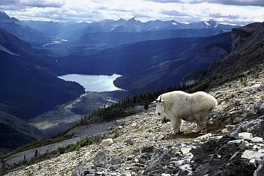 Mountain Goat (Oreamnos americanus) in Rocky Mountain landscape overlooking valley, Yoho National Park, Canada  -  Sumio Harada