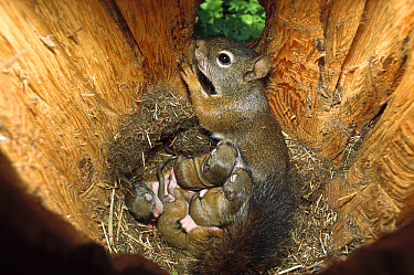 Red Squirrel (Tamiasciurus hudsonicus) mother nursing babies in nest, Rocky Mountains, North America  -  Sumio Harada