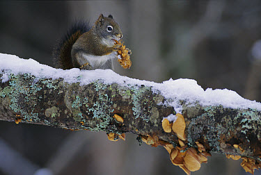 Red Squirrel (Tamiasciurus hudsonicus) eating seeds from a Douglas Fir (Pseudotsuga menziesii) cone, Rocky Mountains, Montana  -  Sumio Harada