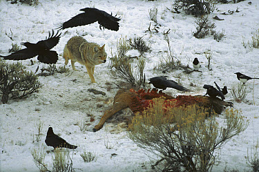 Coyote (Canis latrans) and Common Raven (Corvus corax) group and Magpies scavenge an elk carcass, Yellowstone National Park, Wyoming  -  Sumio Harada