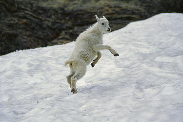 Mountain Goat (Oreamnos americanus) kid playing in the snow, Glacier National Park, Montana  -  Sumio Harada