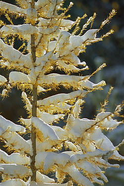 Larch (Larix sp) tree covered with snow, Glacier National Park, Montana  -  Sumio Harada