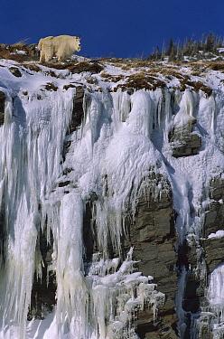 Mountain Goat (Oreamnos americanus) on cliff with large icicles, Glacier National Park, Montana  -  Sumio Harada