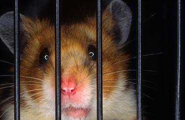 Golden Hamster (Mesocricetus auratus) looking through the bars of its cage  -  Heidi & Hans-Juergen Koch