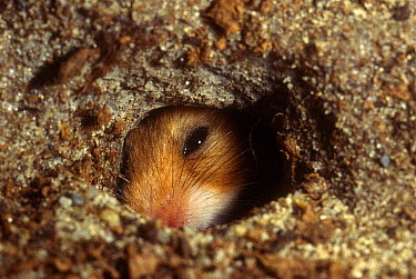 Golden Hamster (Mesocricetus auratus) peering out from its subterranean burrow  -  Heidi & Hans-Juergen Koch