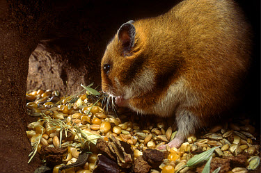 Golden Hamster (Mesocricetus auratus) male, sitting in its subterranean food store filled with corn and wheat  -  Heidi & Hans-Juergen Koch