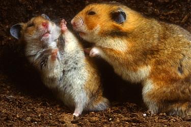Golden Hamster (Mesocricetus auratus) young male on the left discouraging older male  -  Heidi & Hans-Juergen Koch