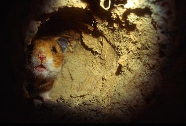 Golden Hamster (Mesocricetus auratus) curious looking around the corner in its subterranean burrow  -  Heidi & Hans-Juergen Koch