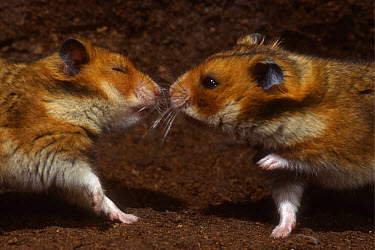 Golden Hamster (Mesocricetus auratus) first encounter of two individuals, sniffing at each other nose to nose  -  Heidi & Hans-Juergen Koch