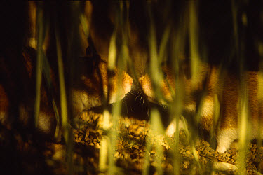 Golden Hamster (Mesocricetus auratus) encounter between male and female at night in a field, both were searching for food, sniffing at each other, golden hamsters are nocturnal animals  -  Heidi & Hans-Juergen Koch
