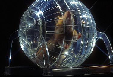 Golden Hamster (Mesocricetus auratus) running in a training ball  -  Heidi & Hans-Juergen Koch
