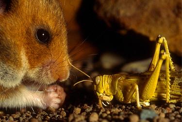 Golden Hamster (Mesocricetus auratus) encounter with a grasshopper, its potential prey  -  Heidi & Hans-Juergen Koch